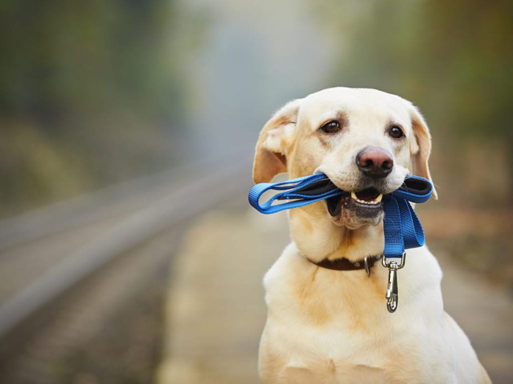 Lost yellow lab with blue leash in its mouth and faded background